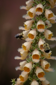 "Leslie H. Johnson  ""Digitalis Ferruginea and Bees"""