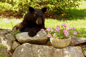 "Peg Ridgely ""Backyard Bear"""