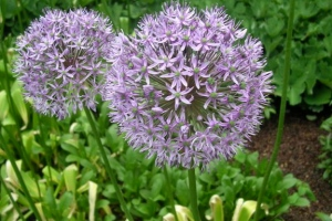 "Susan Mitchel ""Giant Alliums"""