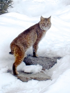 """Curious Bobcat"" by Peg Ridgely"